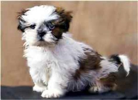 shih tzu respiratory problems shih tzu health problems