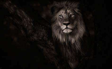 film with a black lion masa 252 st 252 hayvanlar tek renkli fotoğraf aslan vahşi