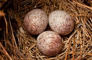 cardinal eggs color cardinal eggs flickr photo