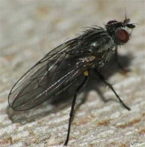 lesser house fly lesser house fly fannia canicularis horsefly trap