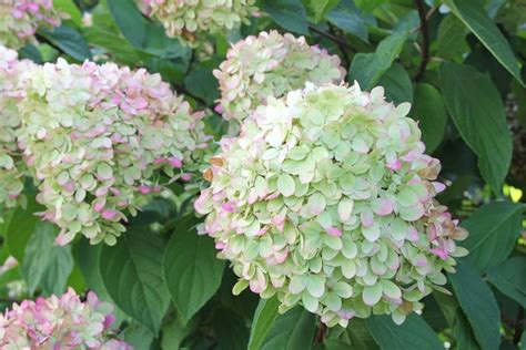 common flowering shrubs 14 best flowering shrubs garden design