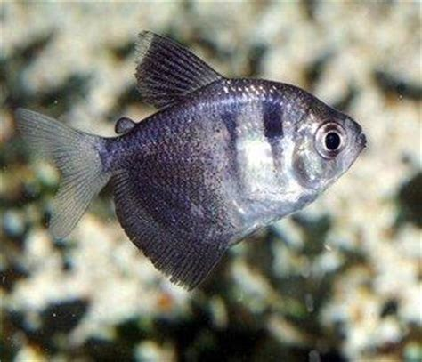 17 best ideas about tetra fish on freshwater