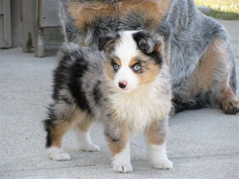 aussie puppies story aussies quot puppies sold quot