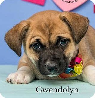 husky shih tzu mix puppies gwendolyn adopted puppy cincinnati oh siberian husky shih tzu mix