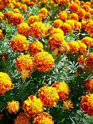 plants that repel insects garden yard projects pinterest insects to grow and gardening