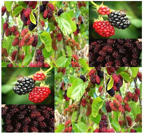 best place to buy wholesale fruit trees bulk black mulberry fruit tree seeds morus nigra shade