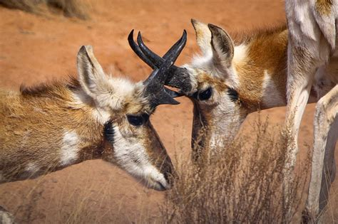 pronghorn revival bringing  americas fastest fauna