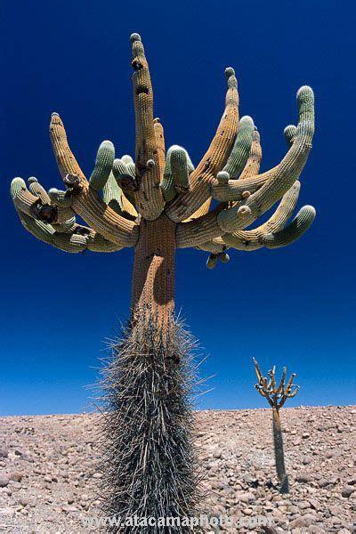 candelabro gigante atacama desert cactus photos different species of chilean
