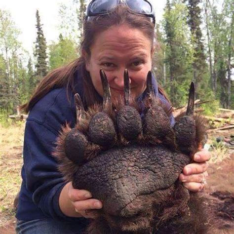 look at the size of this grizzly bear paw boing boing