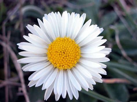 imagenes de flores margaritas image gallery margaritas flores