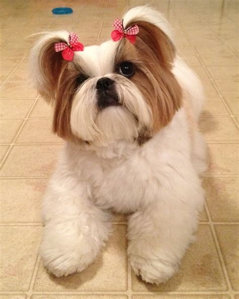 shih tzu hair bows is modeling puppy cut hair style and gingham doggie bow ties