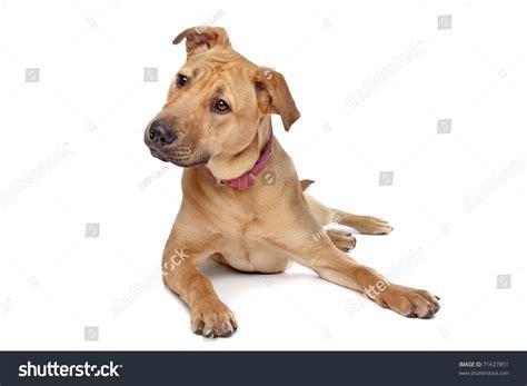 half pitbull half rottweiler mixed breed puppy half rottweiler half pit bull stock photo 71627851