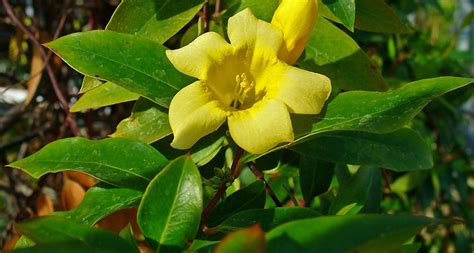 South Carolina Search By Name South Carolina State Flower The Yellow Jessamine Proflowers