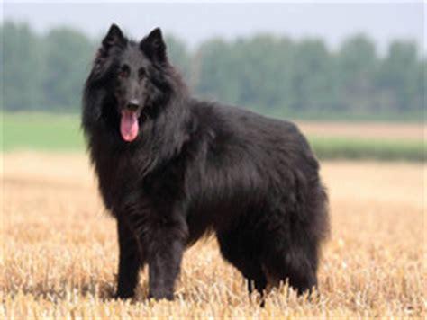 Berger belge : chien et chiot Belgian Shepherd Dog ...