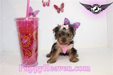 teacup yorkie puppies las vegas teacup morkie yorkie terrier maltese puppy available breeds picture