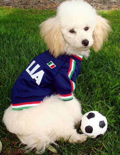 puppy football poodle football photo and wallpaper beautiful poodle football pictures