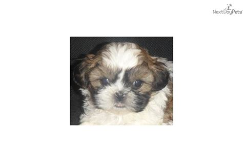 shih tzu puppies for sale in bellingham wa shih tzu for sale for 750 near bellingham washington 3d8acb05 5c41
