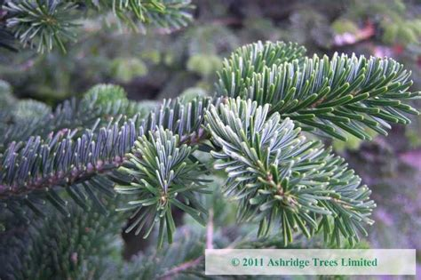 buy abies nordmanniana online ashridge trees
