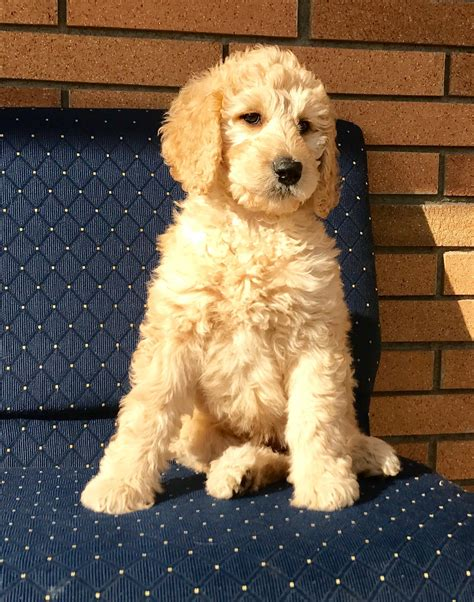 trained doodle puppies for sale goldilocks trained f1b goldendoodle puppy s best friend