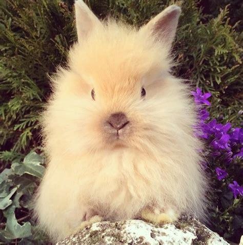 coniglio testa di coniglio testa did angora la stalla dei conigli