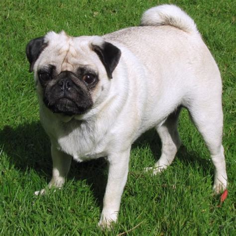 do pugs stay small 59 best small breeds that stay small forever
