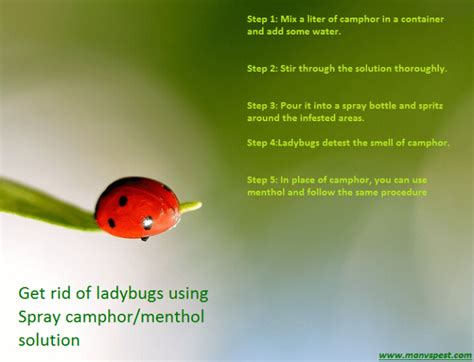how to get rid of ladybugs inside house get rid of ladybugs permanently in natural fast ways manvspest