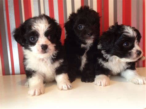 poochie puppy adorable poochie puppies orpington kent pets4homes