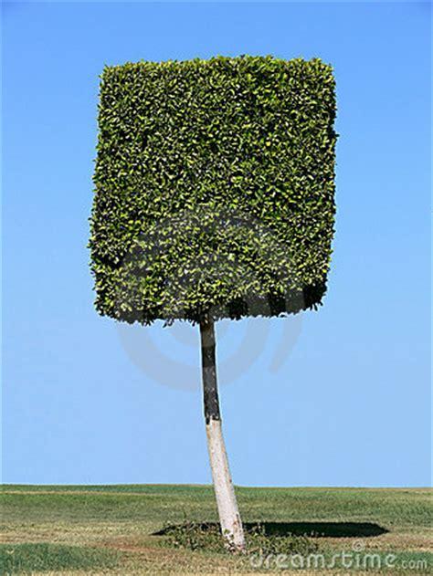square tree square shape tree royalty free stock photo image 4934265