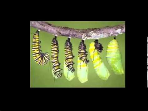 la metamorfosis la metamorfosis de la mariposa youtube