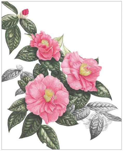 0007275528 botanical painting with coloured pencils botanical painting with coloured pencils jackson s art blog