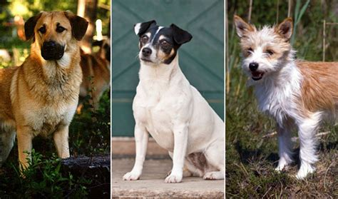 akc breeds how a breed becomes officially recognized