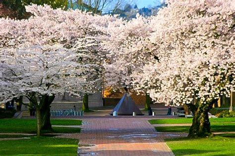 yoshino cherry for sale the tree center