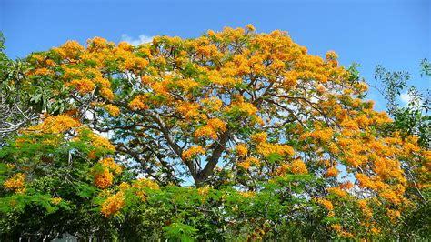 Benihbijibibit Pohon Flamboyan Merah 1 file yellow poinciana bloom 20110518 jpg wikimedia commons