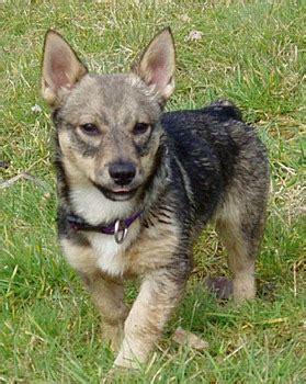 swedish vallhund puppies swedish vallhund puppies breeders vallhunds