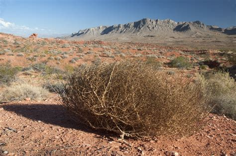 Tumbleweed Tumbleweed Or Tree From The Inside Out