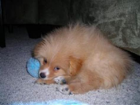 pomeranian for sale in sc pomeranian puppies for sale