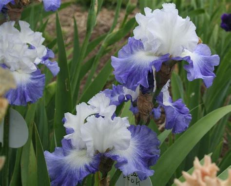 flower iris pattern iris flower patterns amoenas and neglectas garden org