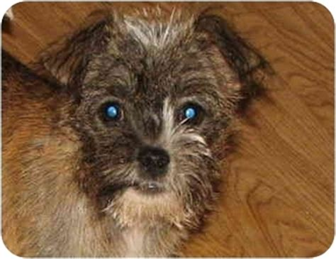 scottish terrier shih tzu mix adopted 1695964 easley sc shih tzu cairn terrier mix