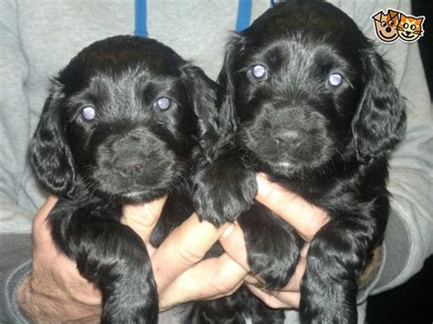 cocker spaniel puppies for sale in alabama cocker spaniels for sale in alabama tubezzz photos