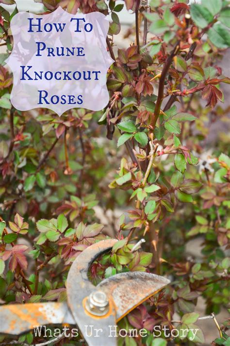 knock out roses how often do you water knockout roses