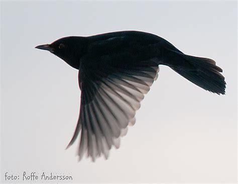 flying blackbird take a walk on the wild side