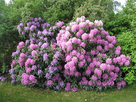 common problems of rhododendron learn about rhododendron