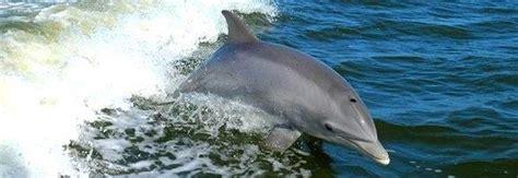 il meteo a porto tolle emozione a porto tolle si rivedono i delfini alla