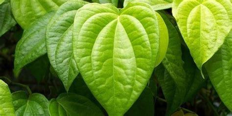 manfaat daun sirih merah  sirih hijau