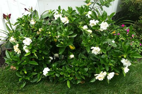 Gardenia Shrub Gardenia Florida Hello Hello Plants Garden Supplies