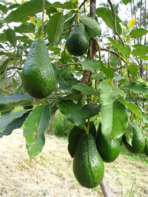 avocado tree not fruiting fruit trees on orchards fig tree and grape vines