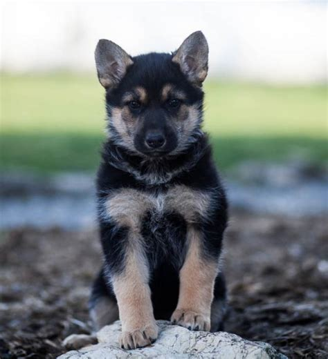 german shepherd puppies craigslist loyal german shepherd puppies craigspets