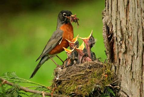 north american robin feeding young photo from public