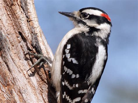 downy woodpecker wild delightwild delight