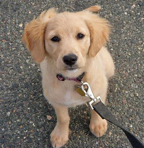 at what age are golden retrievers grown the daily puppy pictures of puppies zoey the golden retriever